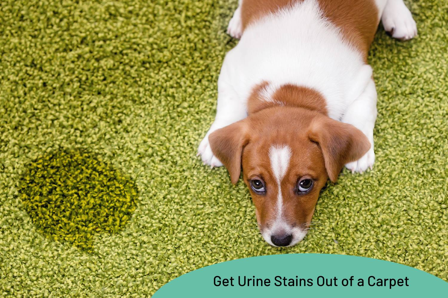How To Get Urine Stains Out Of A Carpet   My Fair Cleaning